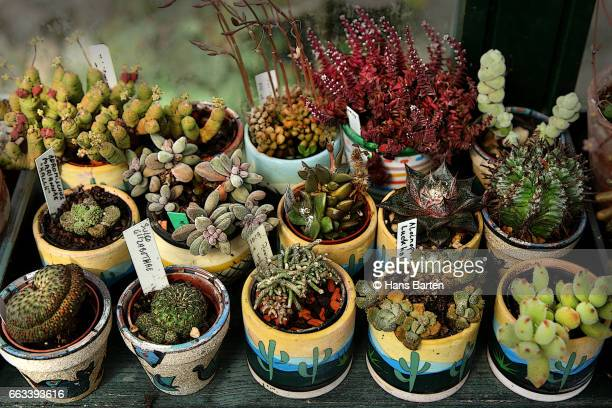 cactusen in colored pots