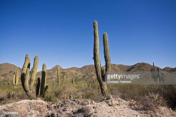 Cactuses landscape, north of Argentina, Argentina, South America