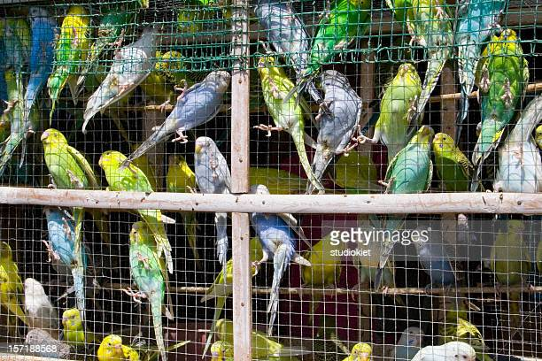 A cage overrun with blue and yellow birds