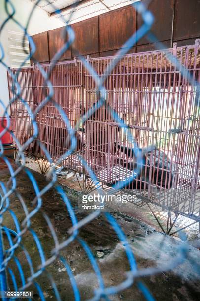 Caged Asiatic Black Bears (Bile Bears) In Vietnam