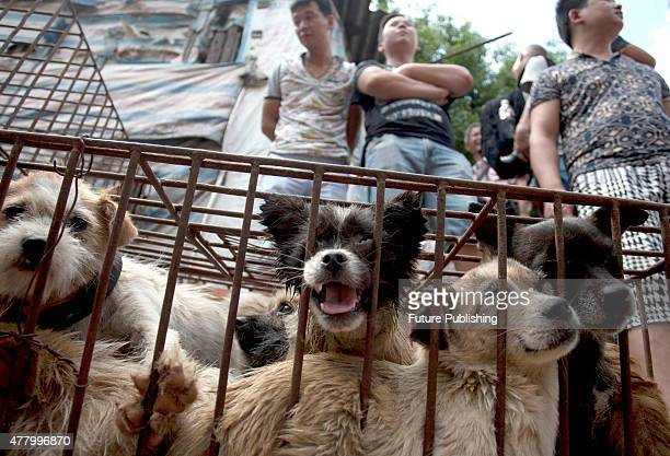 Caged dogs wait to be sold in a market on June 21 2015 in Yulin China Yulin's dog meat festival where some 10000 dogs are slaughtered and served up...