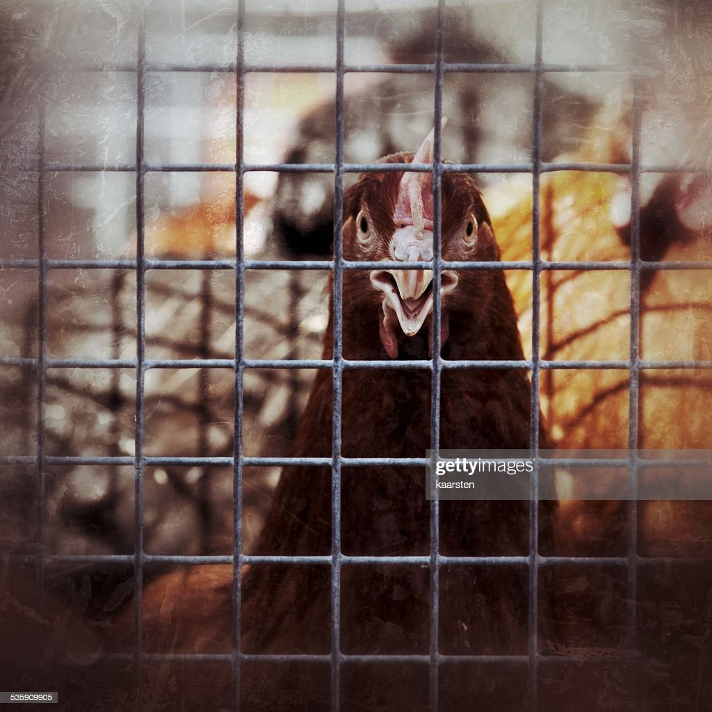 Caged poultry : Stock Photo