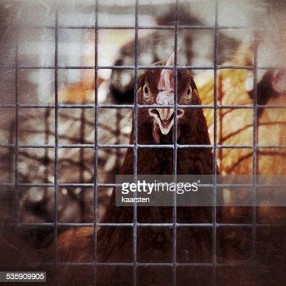 Enjaulado vivo aves de capoeira : Foto de stock