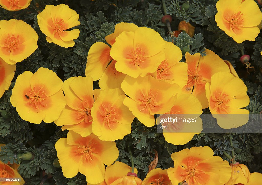 Caifornia golden poppies bloom in Spring