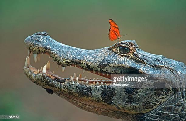 caiman, beautiful, butterfly, brillenkaiman, Brazil, advertisement