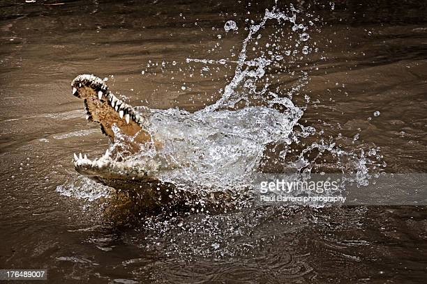 Caiman. Cape Tribulation, Australia.