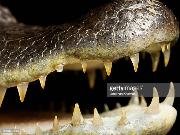 Caiman crocodile, close up on the mouth and teeth