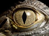 Caiman Crocodile's eye, close up