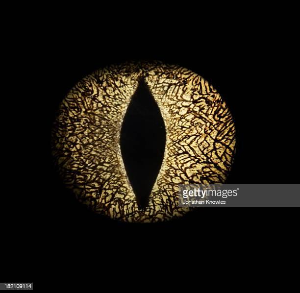 Caiman crocodile's eye, close-up