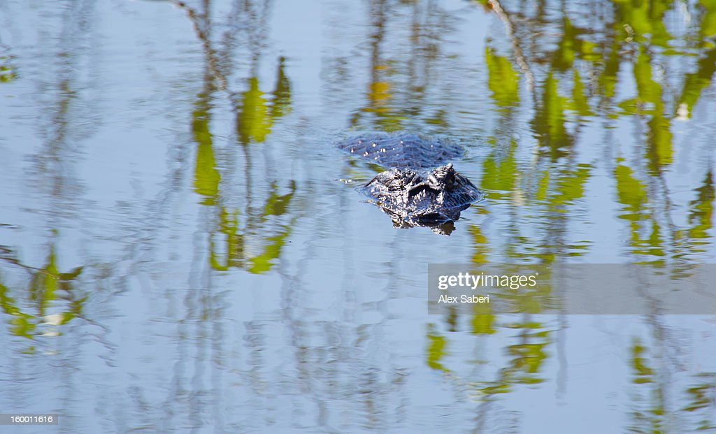A Caiman in the Pantanal wetlands. : Stock Photo