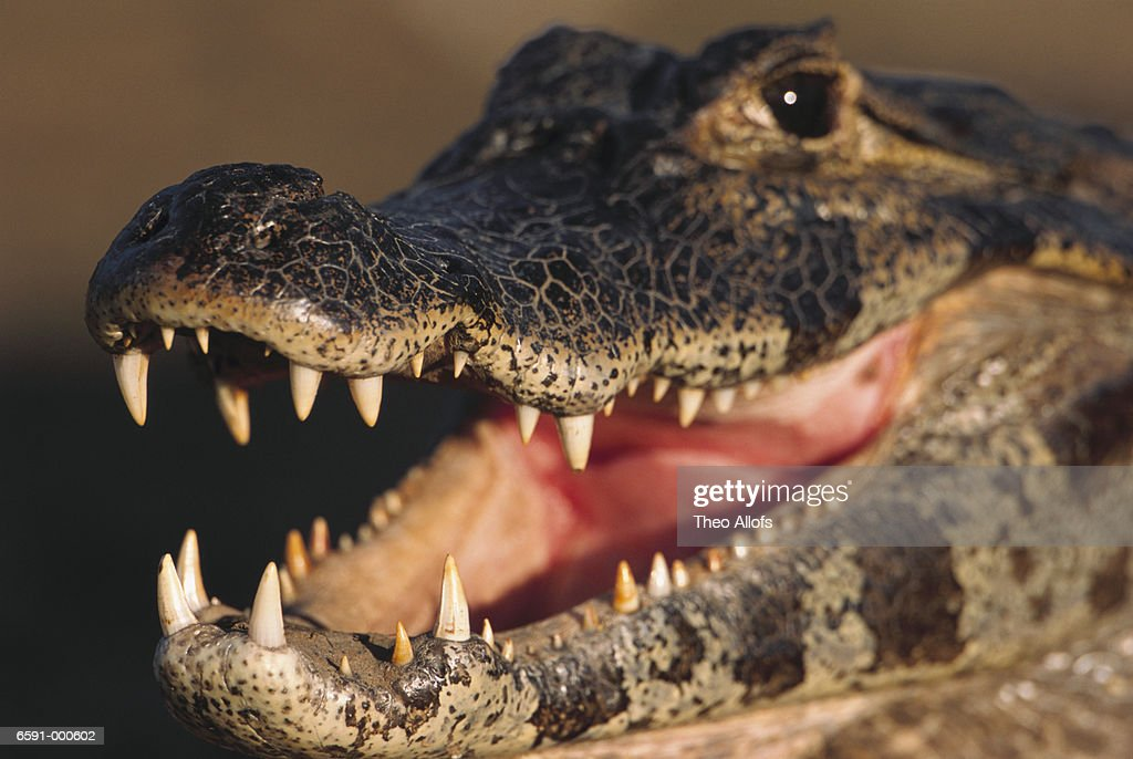 Caiman with Open Mouth : Stock Photo