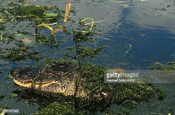 Cajuns and Creoles De Louisiane in New Orleans United States in September 1998 Alligator hunting in Louisania Bayous
