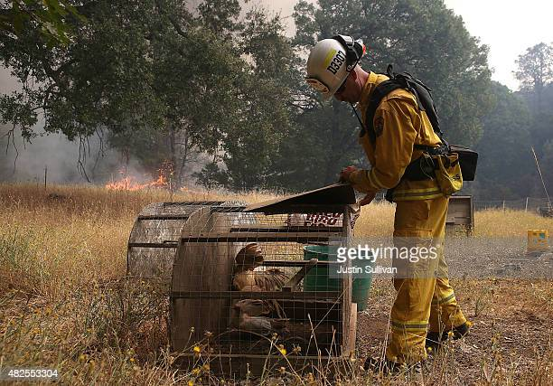 Cal Fire division chief Nick Schuler preapres to move chickens as the Rocky Fire approaches on July 31 2015 in Lower Lake California Over 900...