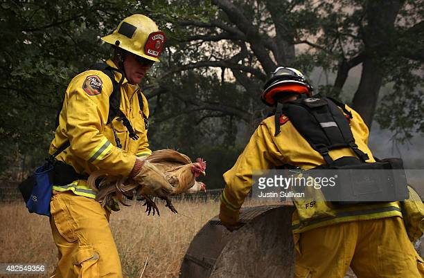 Cal Fire firefighter Johnny Miller and Cal Fire division chief Nick Schuler move chickens as the Rocky Fire approaches on July 31 2015 in Lower Lake...