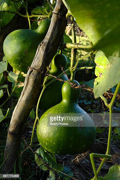 Gourds fail to mature on vine