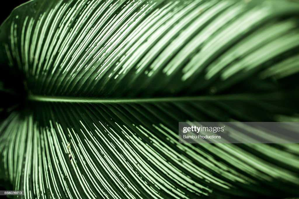 Calathea Stock Photos and Pictures Getty Images