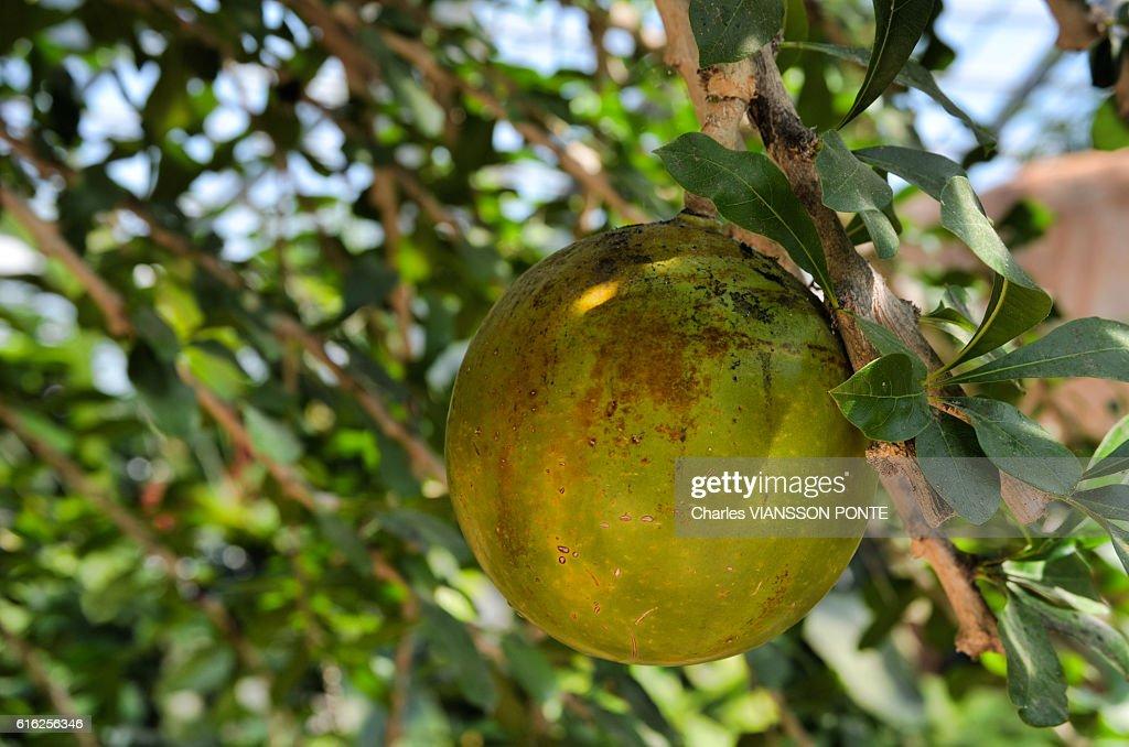 Calebassier (arbre) - Calabash Tree : Foto de stock