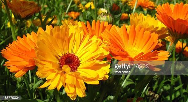 キンセンカ officinalis の花