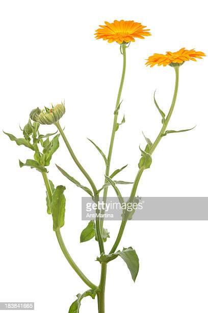 calendula officinalis (pot marigold) isolated on white