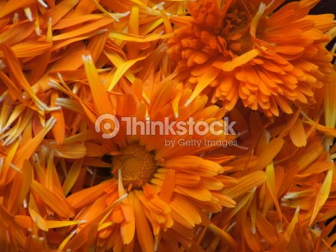 Calendula petals : Stock Photo