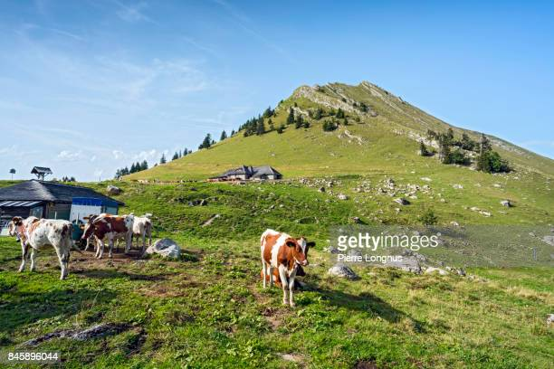 Calf and cows in an alpine farm above the city of Montreux, near the Jaman Mountain Pass, Switzerland