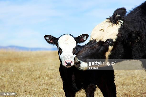 Calf and its mother