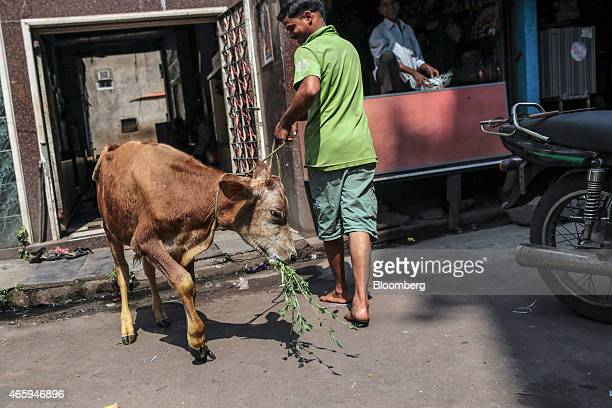 A calf eats while being escorted by a worker outside a Hindu temple in Mumbai India on Wednesday March 11 2015 The government of the state of...