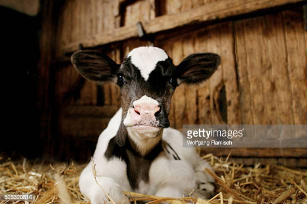 Calf in Stable