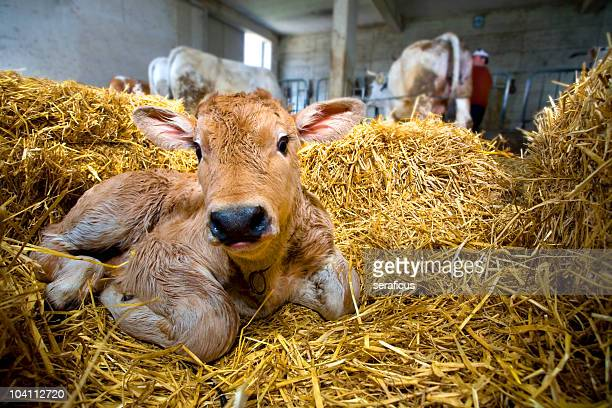 Calf in the straw