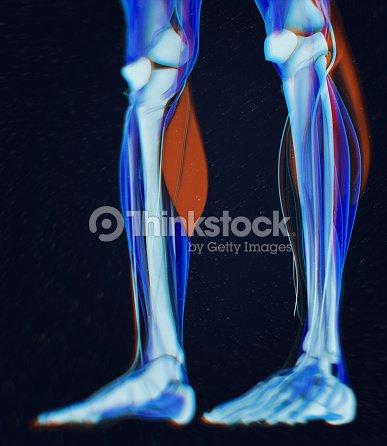 Wadenmuskulatur Menschliche Anatomie Gastrocnemius 3d Illustration ...