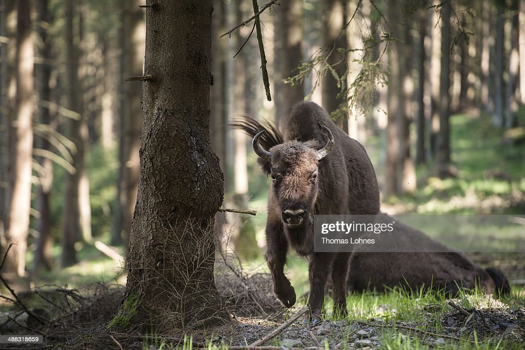 A calf of a European bison heard pictured in the Rothaargebirge mountain on May 5, 2014 near Bad Berleburg, Germany. The herd is a project of Wisent Welt Wittgenstein, a government-funded initiative that last year released the herd in an effort to restock the bison in the wild. European bison were once plentiful across Europe and Russia, though their numbers were decimated nearly to extinction by hunting and habitat encroachment.