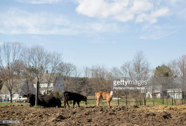 A calf out to pasture near a neighbors house on Arthur Randall Jr's farm Other farms around him have sold their land off to developers but Randall...