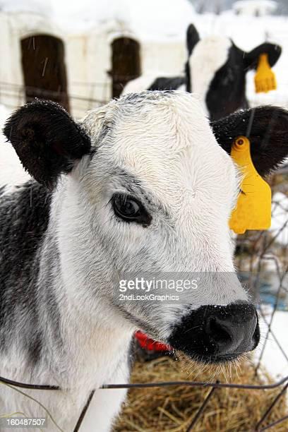 Calf Outside in Winter