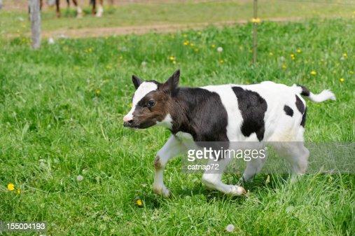 Calf Running in Pasture Grass, Holstein Dairy Cow