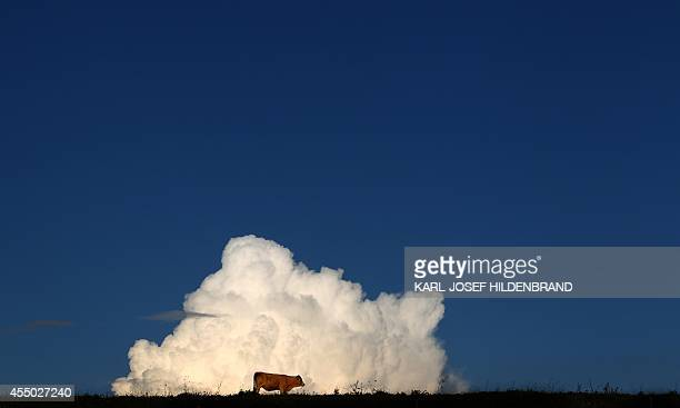 A calf silhouettes against cumulus clouds appearing in the sky behind a meadow in Echerschwang southern Germany on September 8 2014 AFP PHOTO / DPA /...