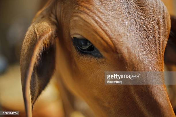 A calf stands at a cow shelter where cow urine is collected and processed in Bulandshahar Uttar Pradesh India on Friday June 17 2016 Urine from...