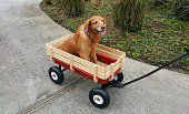 This is taken of my elderly dog Cali riding in her Wagon. She had bad hips.