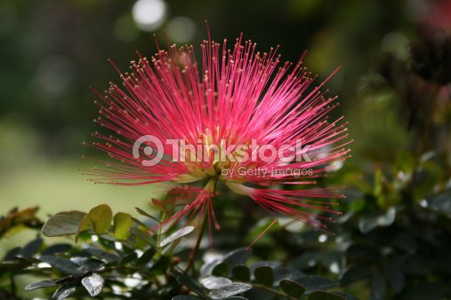 Caliandra Fleur Balata Jardins Martinique Photo Thinkstock