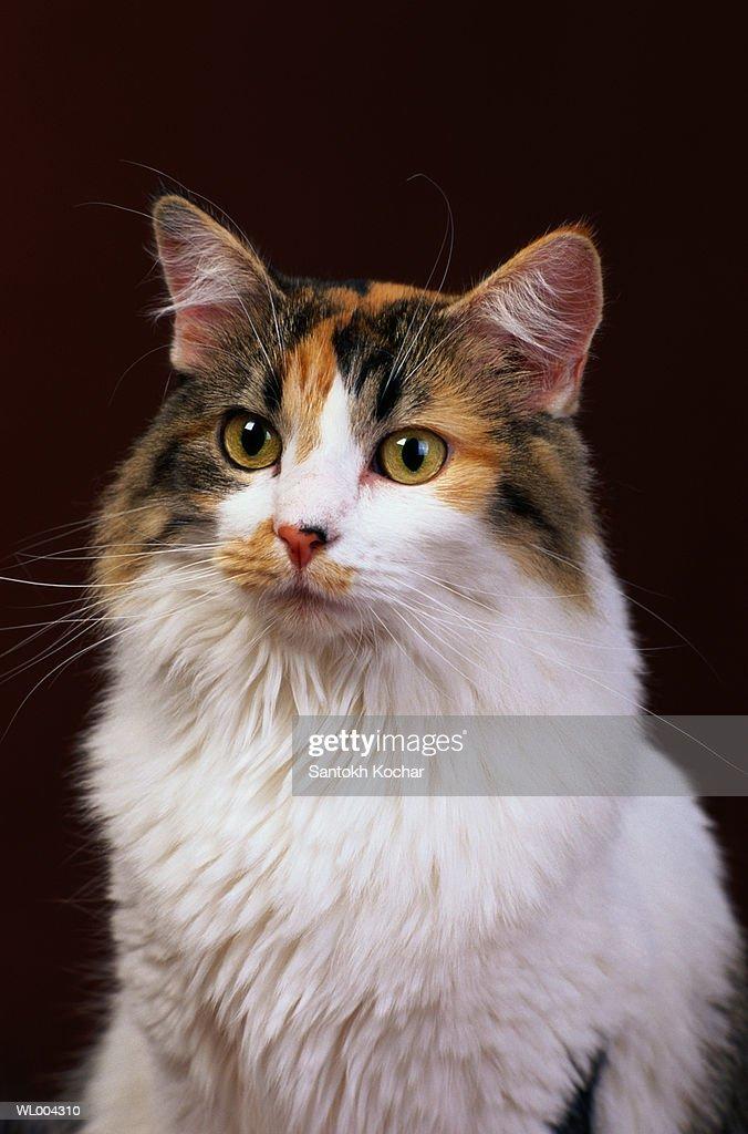 Calico Cat : Stock Photo