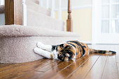 Calico cat scratching nails on carpet floor stairs steps staircase inside indoor house, home, destroying it
