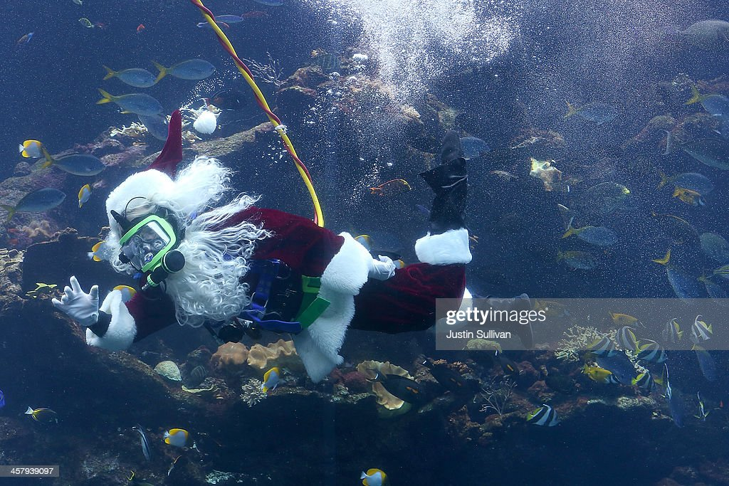 California Academy of Sciences diver George Bell wears a Santa Claus suit as he dives in the Academy's Philippine Coral Reef tank on December 19, 2013 in San Francisco, California. The California Academy of Sciences Coral Reef Dive program featured a special appearance by Scuba Santa as part of a holiday program that will occur daily at 11:30 am and 2:30 pm from Thursday, December 19 through Tuesday, December 24.