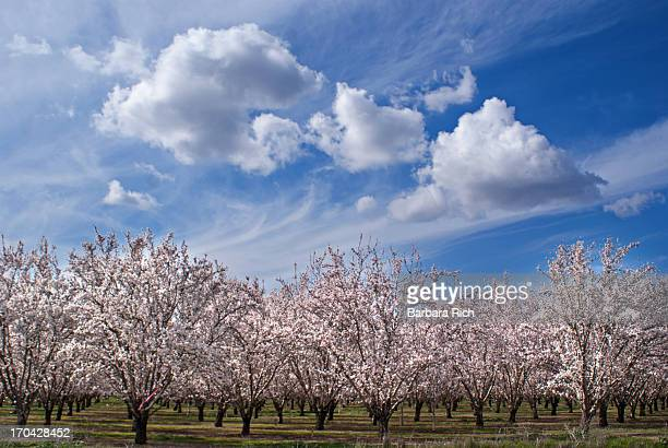 California Almond Blossoms in bloom