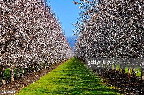 California almond orchards in bloom