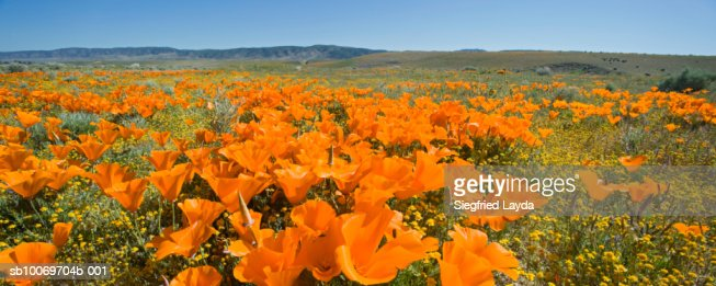 USA, California, Antelope Valley, Golden poppies and wildflowers