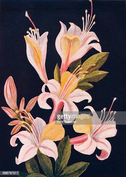 California Azalea circa 1915 Rhododendron occidentale Heath Family From Wild Flowers from the Mountains Canons and Valleys of California by Emma...