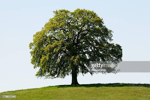 Chêne noir de Californie (Quercus kelloggii) sur la colline au printemps isolé.