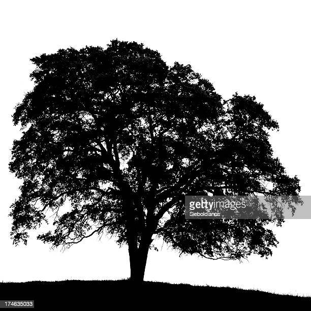 California Black Oak Tree Silhouette (Coastal kelloggii)/isoliert auf weiß.