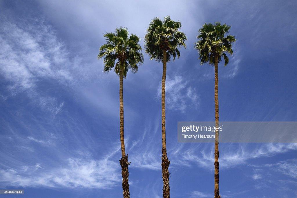 California Fan Palm Trees (Washingtonia filifera)