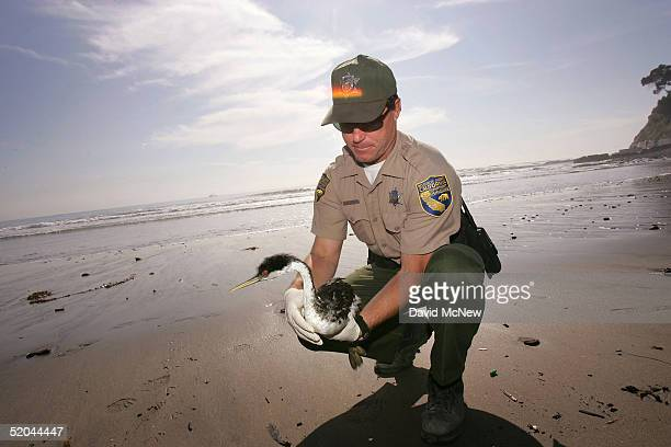 California Fish and Game warden Sean Moe holds an oiled western grebe that was caught in an oil spill of unknown origin and which will be treated at...
