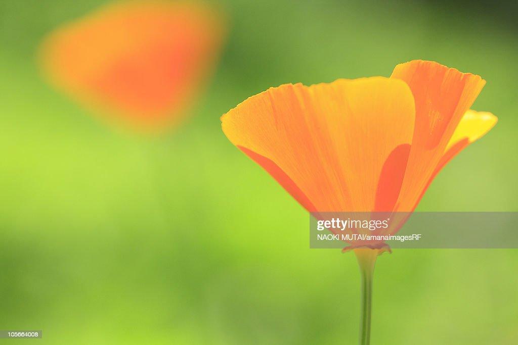 California golden poppies, close up, differential focus